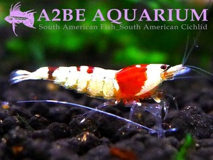 "CRS(SS) / Caridina cantonensis sp. ""Red"" [입문용 / Good Quality] 5마리"
