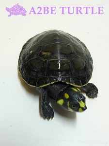 Yellow spotted River Turtle 아마존 노란점 거북