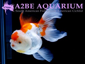 슈퍼 발룬 홍백 오란다 롱핀 / Super Balloon Red & White ORANDA Longfin / [ 0414_GA ] (18cm 전후)
