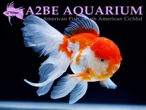 슈퍼 발룬 홍백 오란다 롱핀 / Super Balloon Red & White ORANDA Longfin / [ 0414_GE ] (15cm 전후)